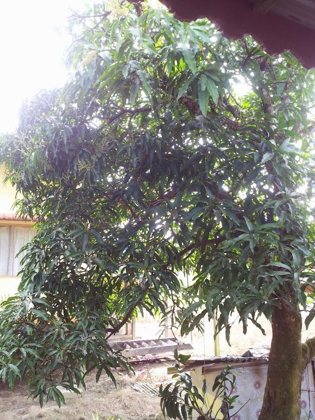 Petua Agar Pokok Berbuah