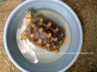 cute geochelone sulcata tortoise expelling urates while weeing and soaking. Cute and funny pet animals in the philippines, japan, united kingdom, united states, uk, us, germany, blogspot, blog, Tortoise Trust