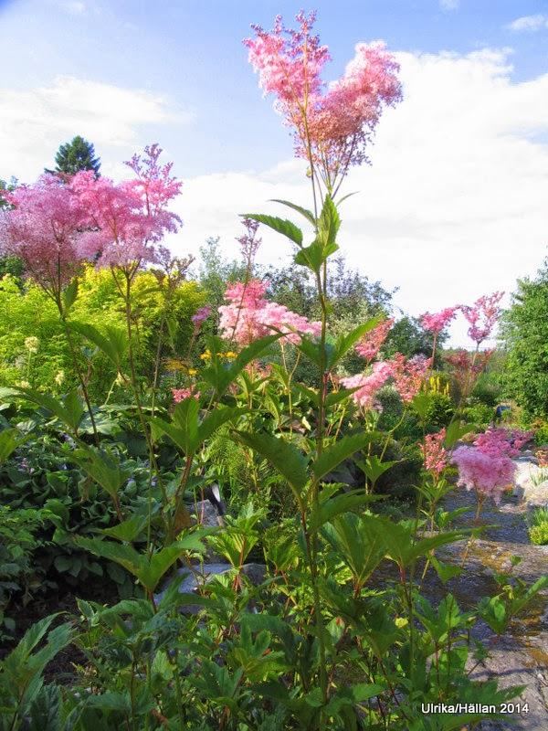 Amerikanskt älggräs Filipendula rubra