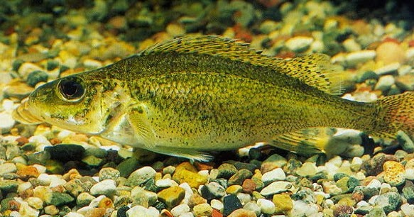 Illinois invasive species awareness month illinois for Illinois fish species