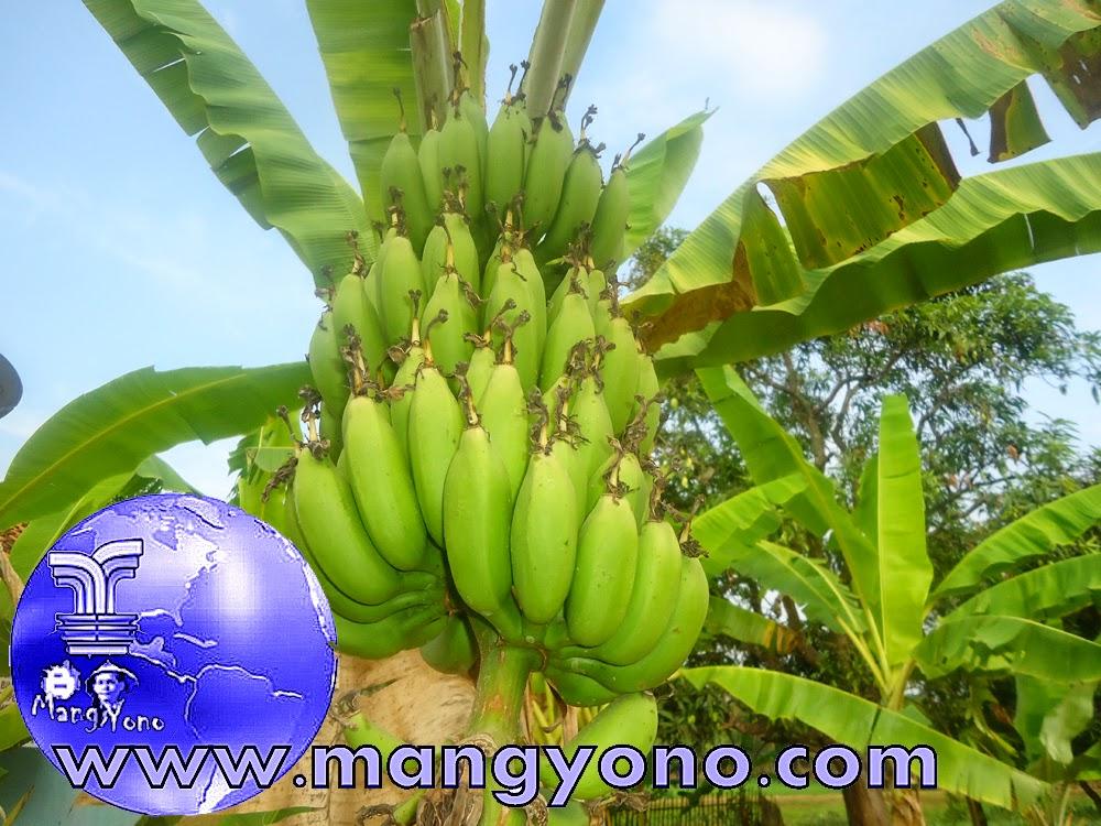 Buah pisang sudah tua tapi masih dipohon, siapa yang mau nolongin saya nebang pohon pisang hehehe
