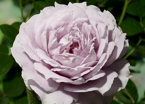 Novalis rose сорт розы фото