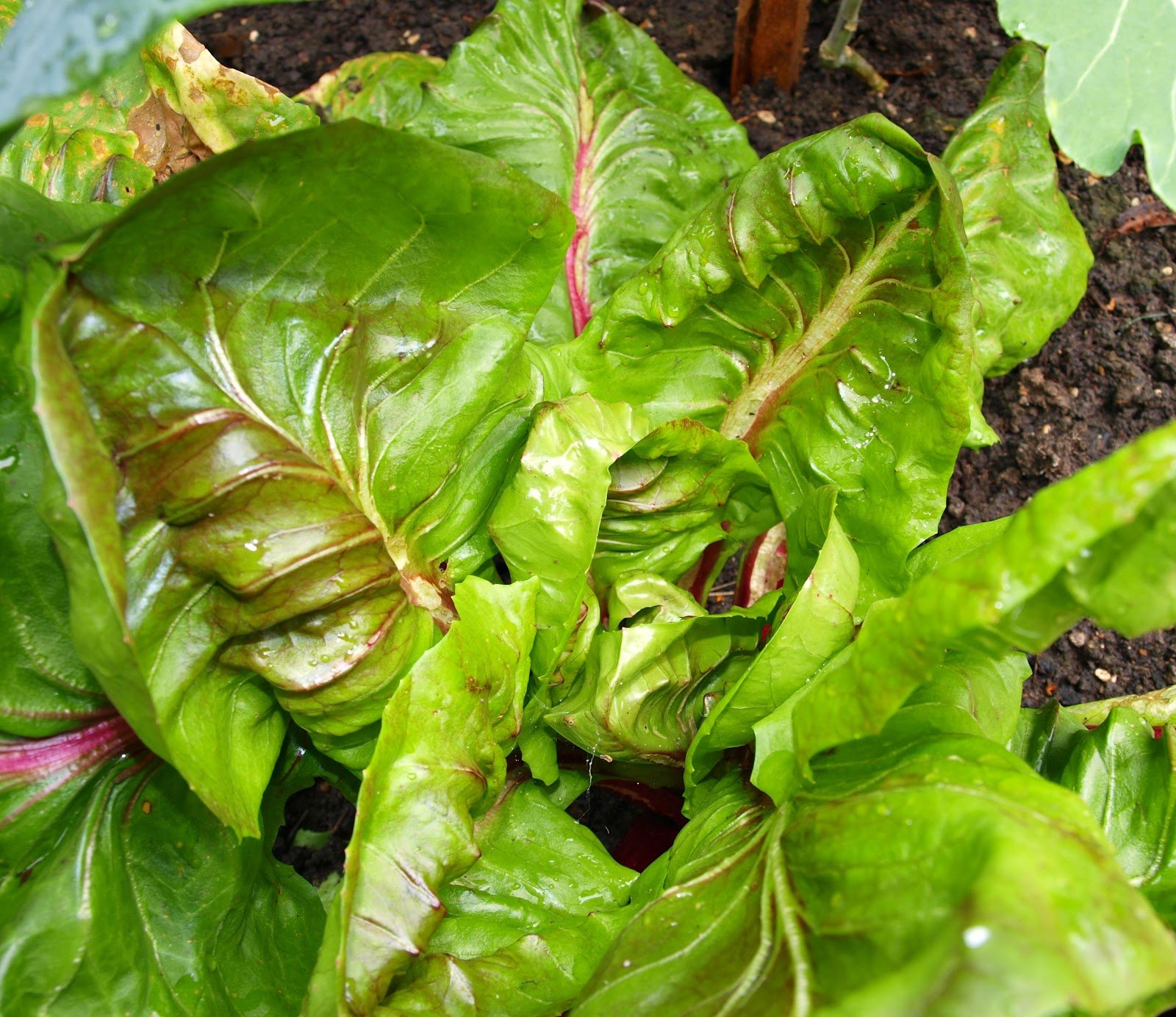Mark's Veg Plot: Winter salads