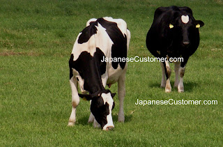 Japanese cow grazing copyright peter hanami 2012