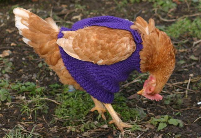 Knitting Pattern Hen Jumpers : Sharen Cornils Chicken Wrangler: August 12, 2012: Chicken Clothes