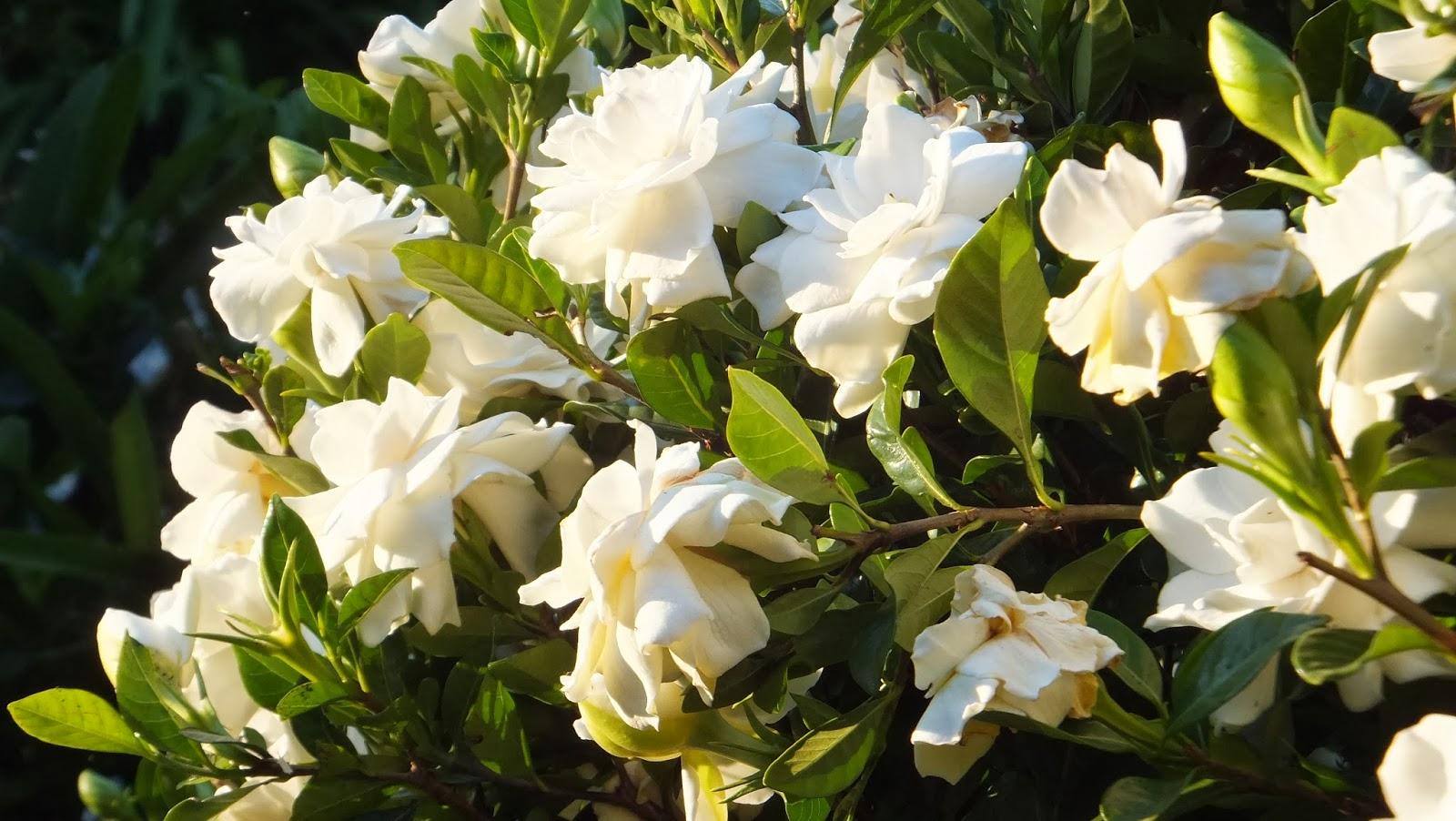 Coffs Harbour Garden Club Gardenia