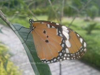 himalayan butterflies