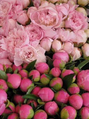 Flowers - Peonies