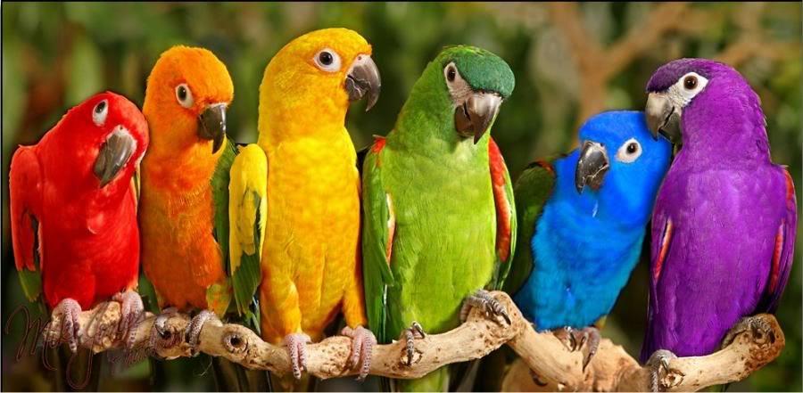rainbow parrots birds