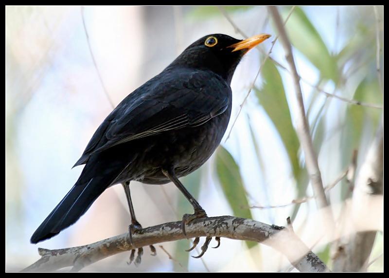 El ojo del buitre aves mirlo turdus merula - Como se consigue el color naranja ...