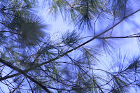 Pine in winter sky @ Royal Botanical Garden :: All Pretty Things