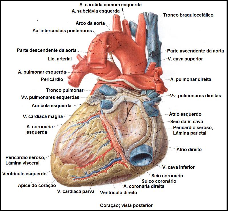 Vistoso Vista Frontal Anatomía Humana Festooning - Anatomía de Las ...