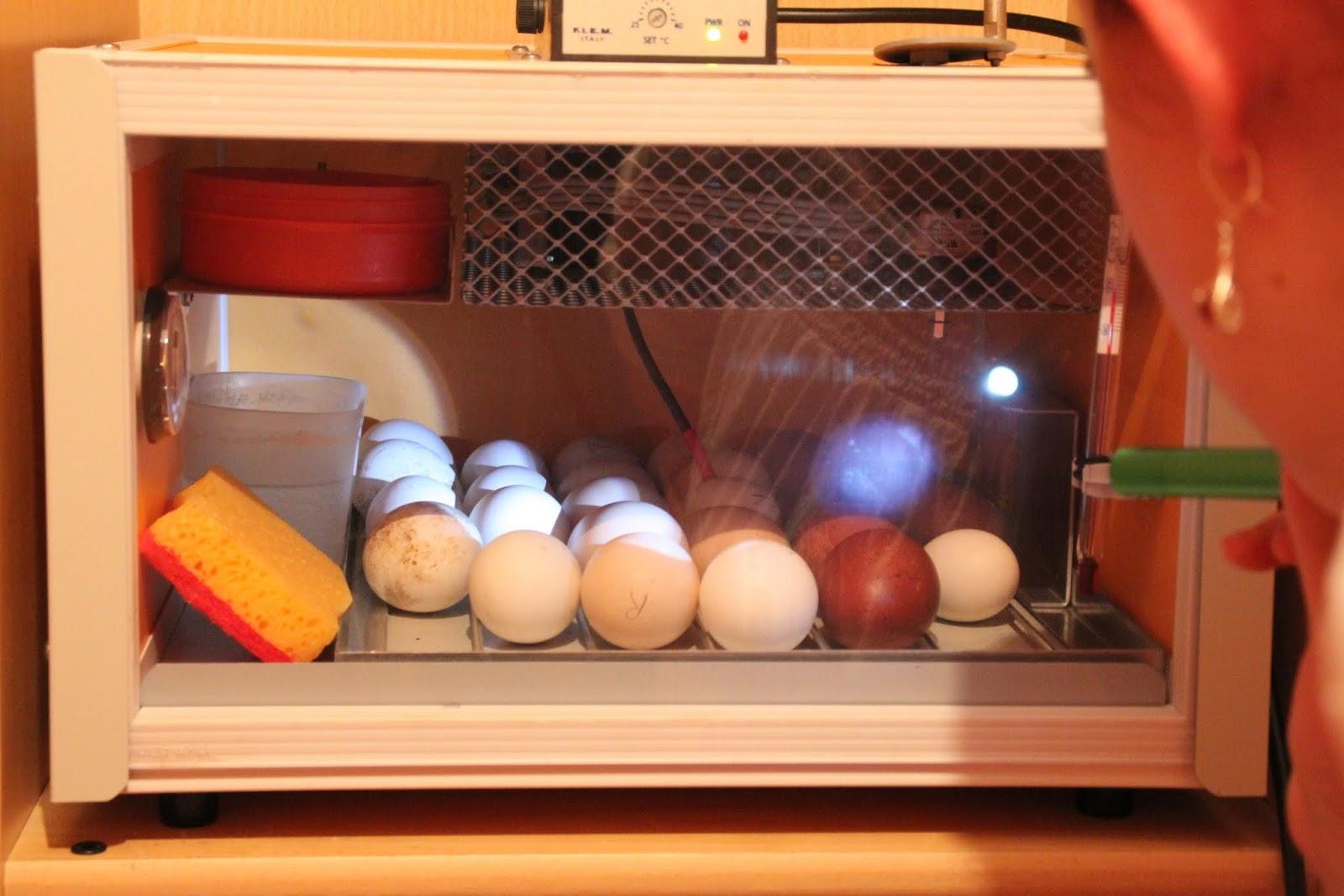 les poules des boubous premiers oeufs dans la couveuse. Black Bedroom Furniture Sets. Home Design Ideas