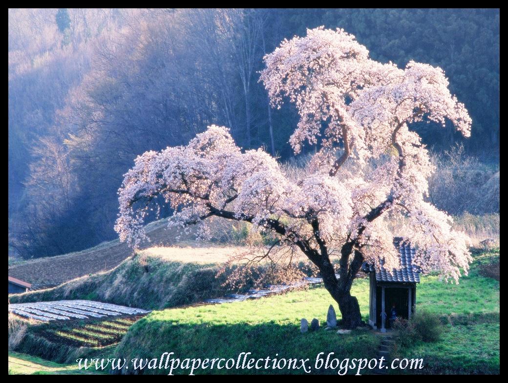 wallpapercollectionx: Cherry Blossom Tree.