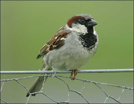 Raising Of Sparrow Pictures : house sparrow source unknown world sparrow day also has a