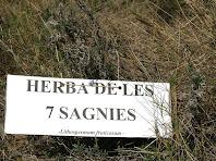 """Exemplar d'Herba de les 7 Sagnies """"Lithospermm fruticosum"""""""
