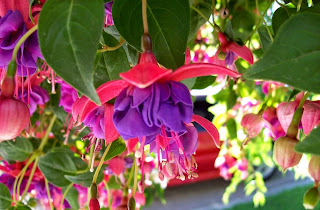 Blue Eye Fuchsia