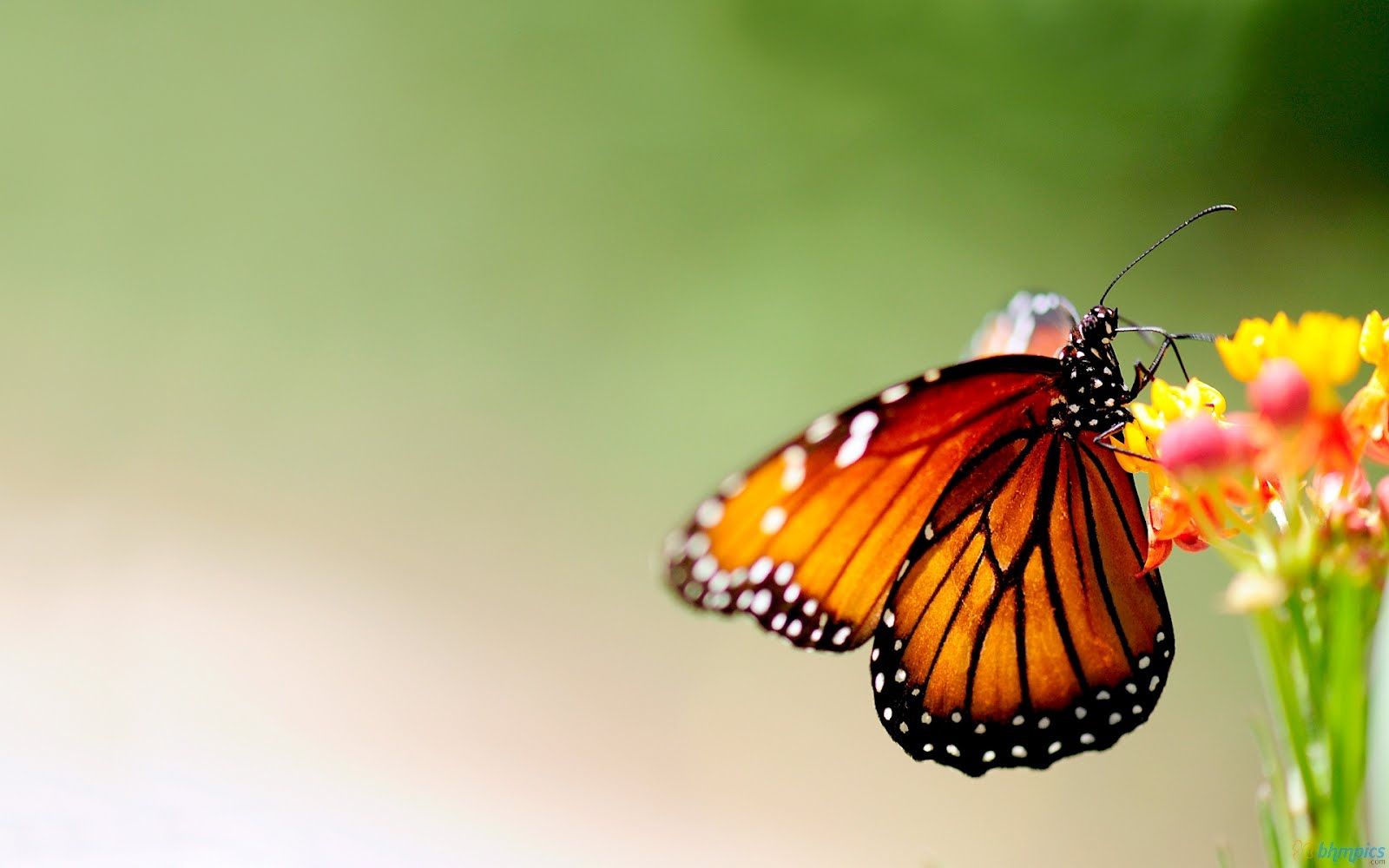 Colorful butterfly free wallpapers best wallpapers for Butterfly on flowers