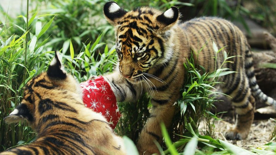 should we keep animals in zoo Points for: 1 you can't just chuck these animals away and expect them to survive by there selves if animals were in the wild they would have to take risks to have food and a tiger might attack but in zoos nothing like that would happen.