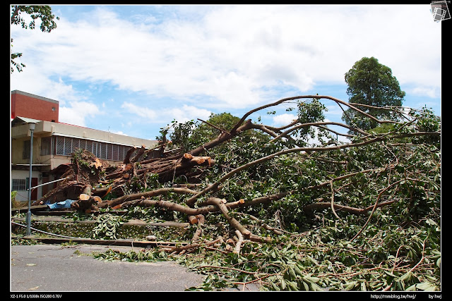 2013-07-13 蘇利颱風侵襲南投 中興新村兒童樂園的大樹倒了!有30多年了吧?