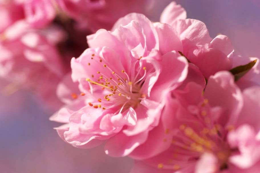 sakura-pink-flower-bright-spring-flowers