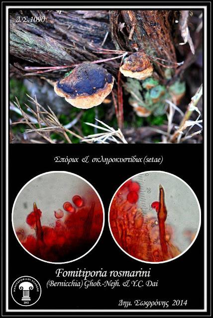 Fomitiporia rοsmarini (Bernicchia) Ghob.-Nejh,& Y.C. Dai