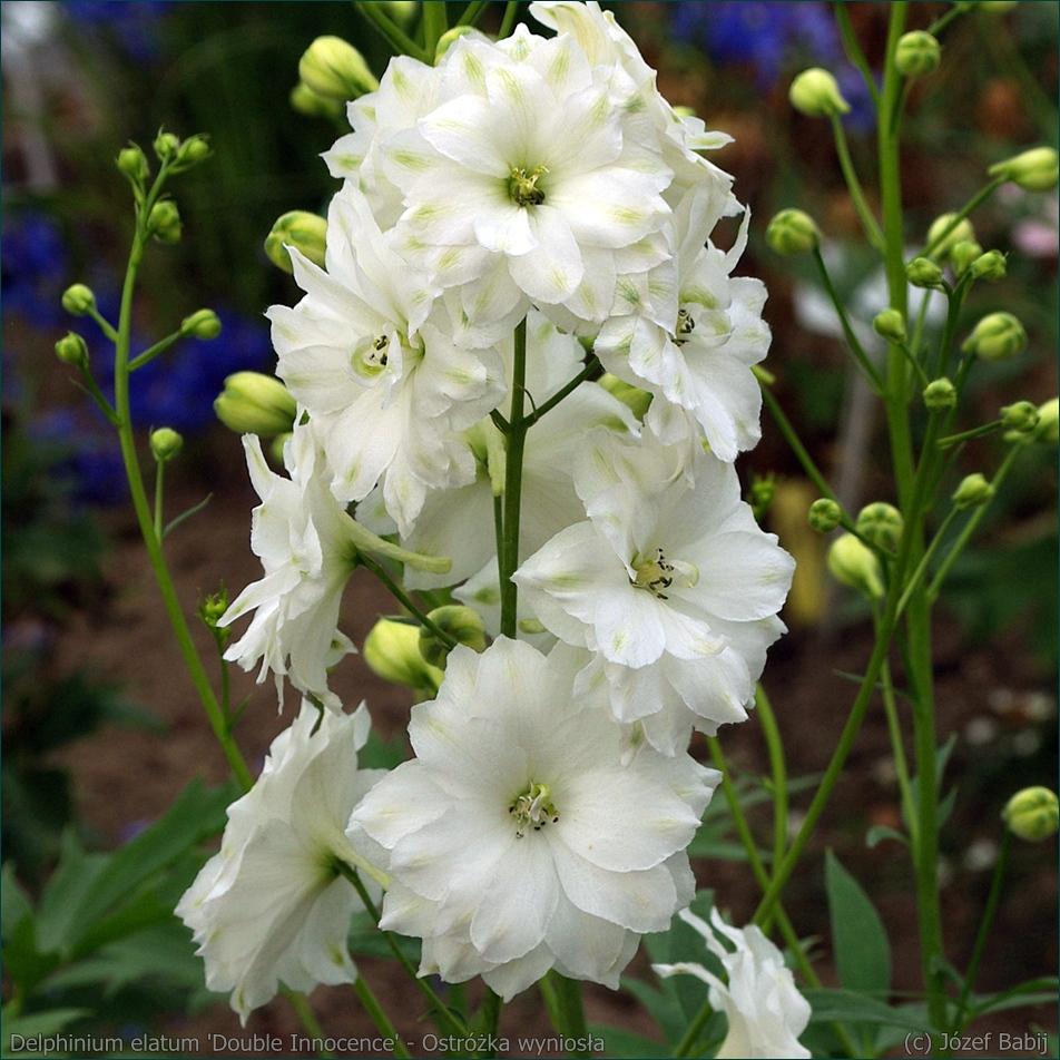 Delphinium elatum 'Double Innocence' - Ostróżka wyniosła kwiaty
