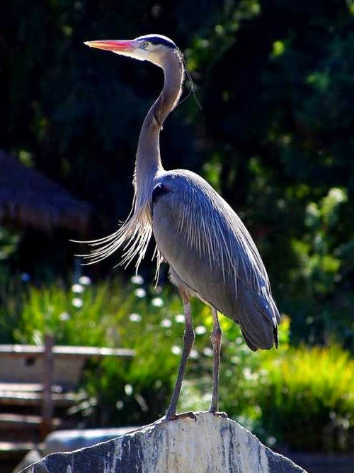Indian birds - Grey heron - Ardea cinerea