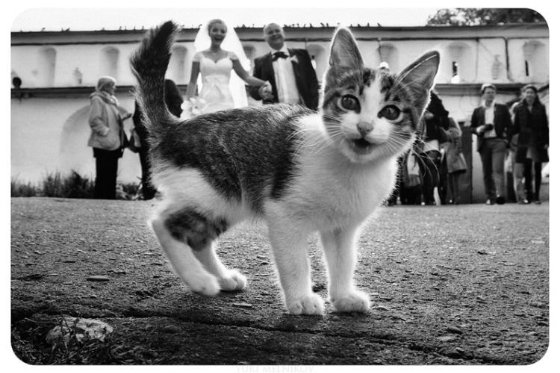 Cat wedding photo bombing.