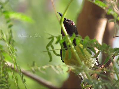 Purple Rumped Sunbird