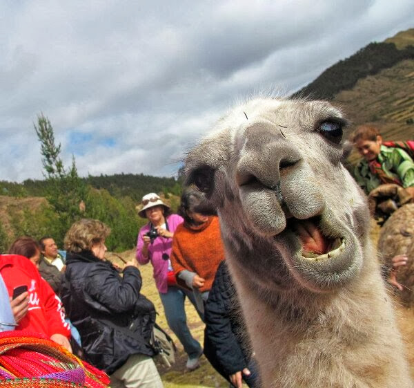 Funny animals of the week - 20 December 2013 (40 pics), close up llama