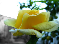 yellow roses photo flower image uruguay rosedal