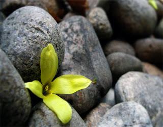 flor entre pedras