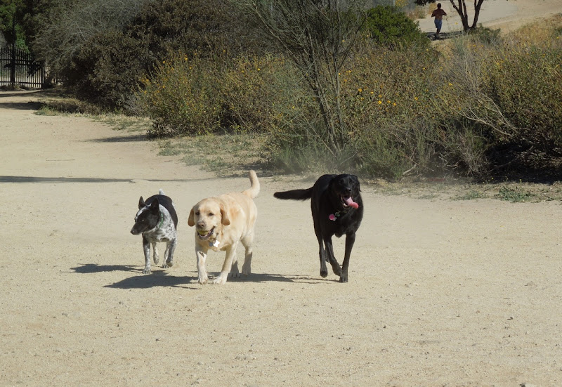 Dog playtime Runyon Canyon