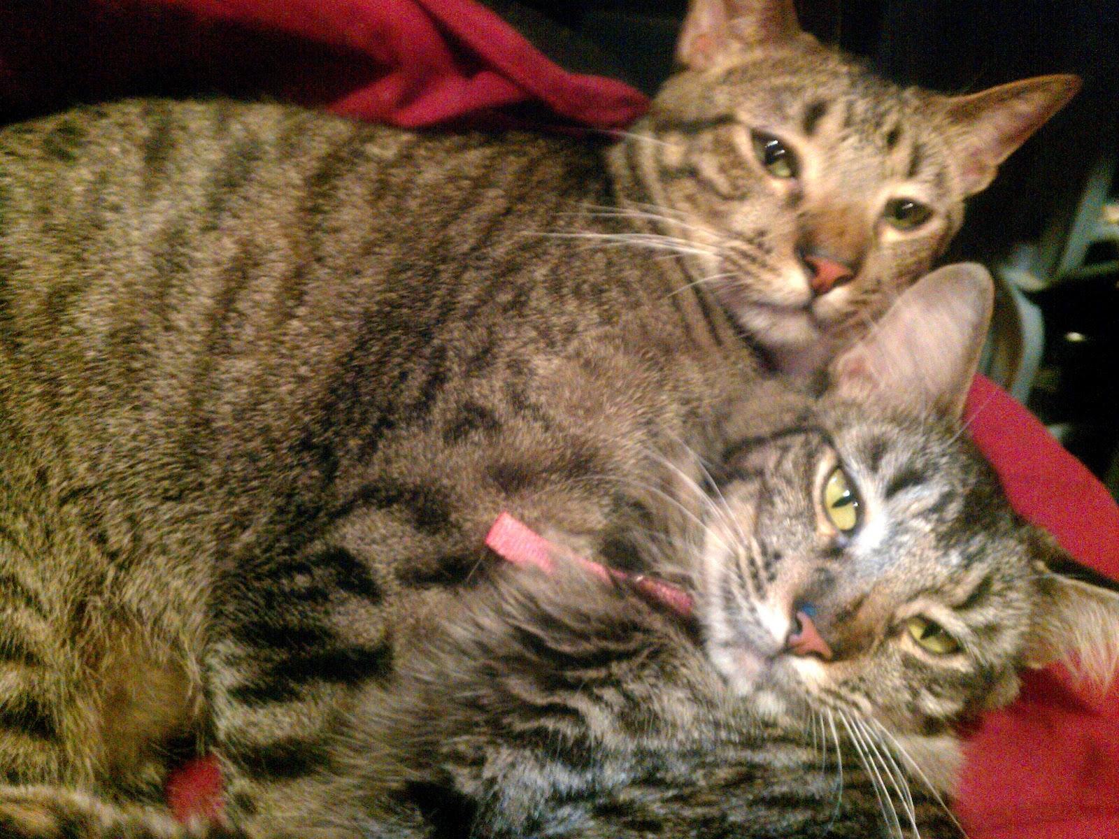 Advantage Flea And Ear Mite Treatment For Cats