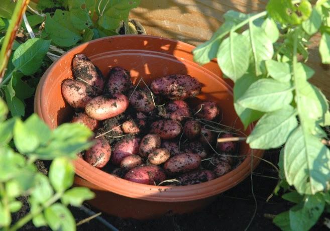 Rödskaliga potatisar i en bytta placerad bland potatisplantor.