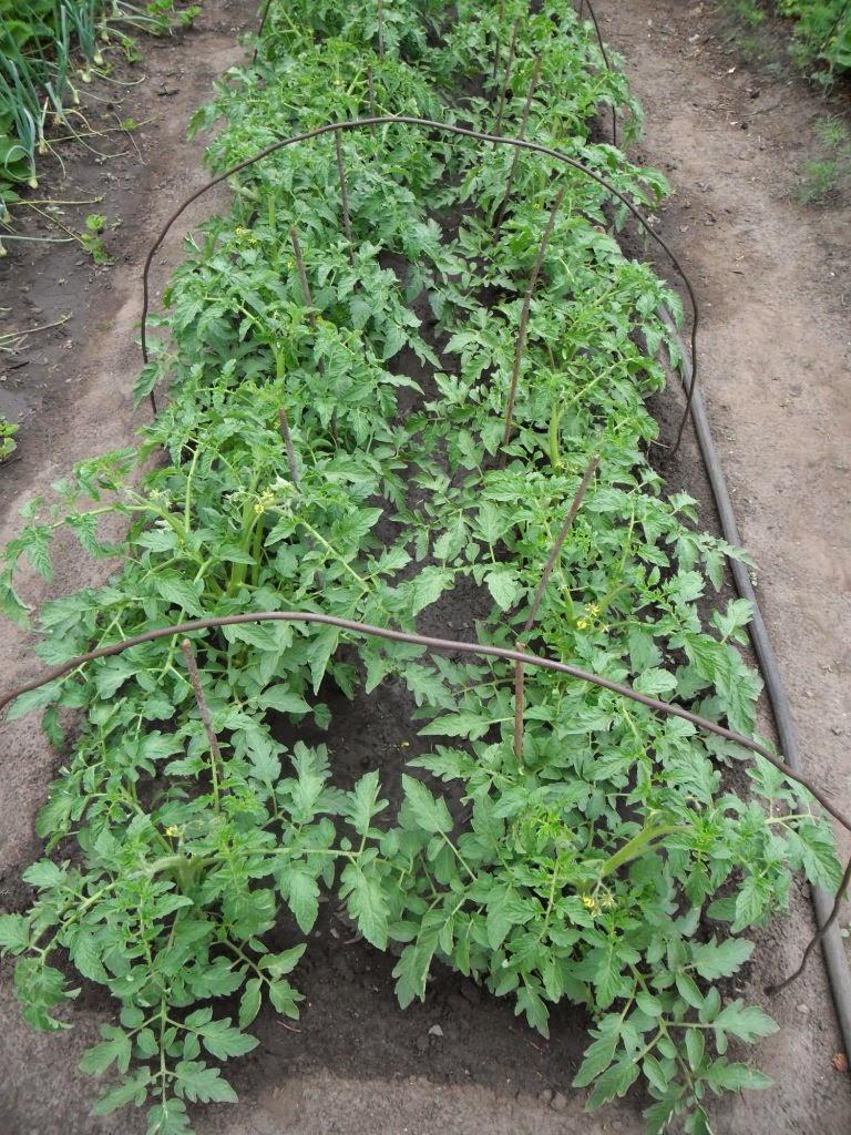 Безрассадные помидоры
