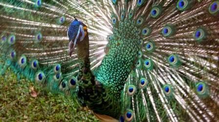 jenis burung asli indonesia