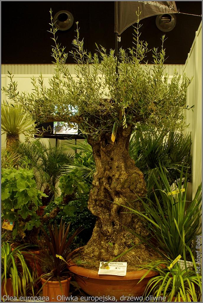 Olea europaea - Oliwka europejska, drzewo oliwne
