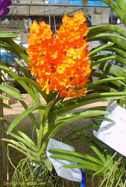 http://1.bp.blogspot.com/-RIM_kwO-4KA/TionDNuqQQI/AAAAAAAAAro/mzUGcBbz5rA/s1600/Vanda+hybrid+Orchid+Flower+Picture+07.JPG