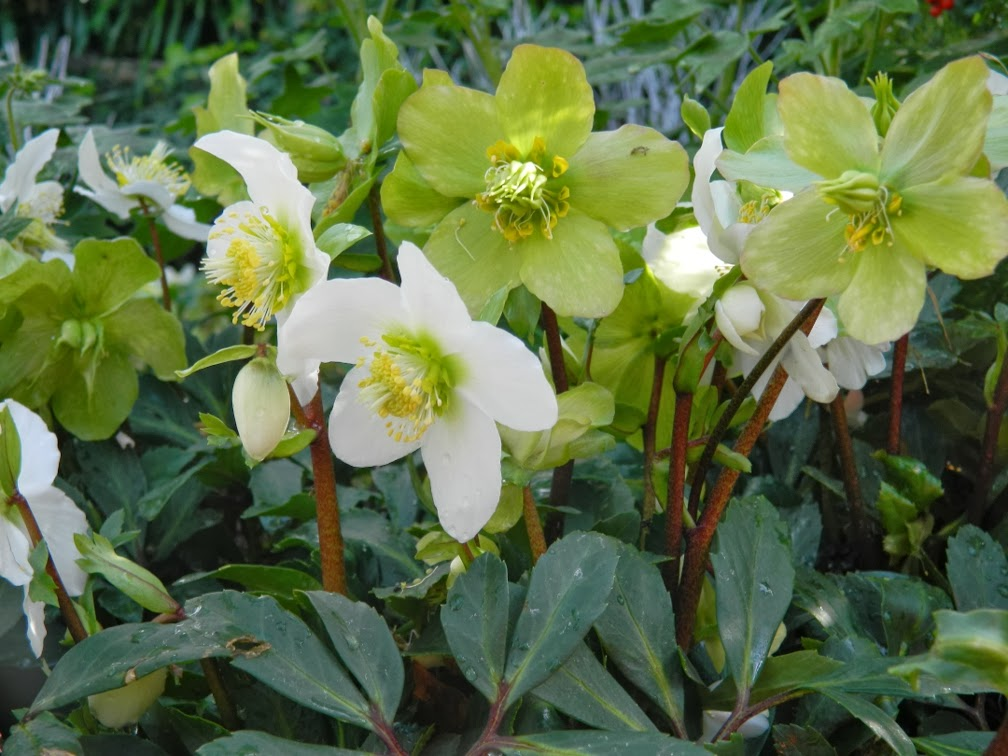 Helleborus niger Jacob at Allan Gardens Conservatory Spring Flower Show 2014  by garden muses-not another Toronto gardening blog