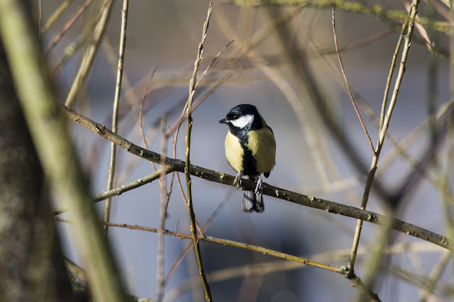 Great Tit along the River Ouse, Milton Keynes