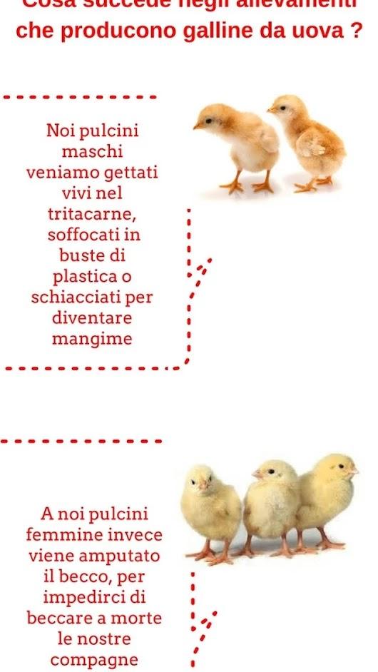Il massacro dei pulcini indigna il web. Firma ora!