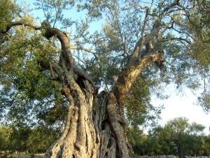 Si avvicina il periodo della raccolta delle olive albergo il giardino blog puglia gargano - Sughero pianta da giardino ...