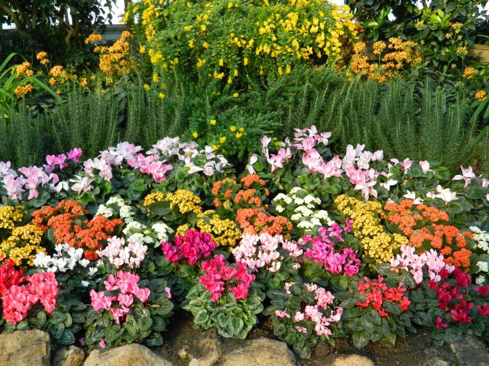 Centennial Park Conservatory Spring Flower Show 2014 cyclamen kalanchoe by garden muses-not another Toronto gardening blog