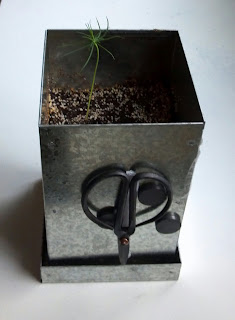 baby black pine bonsai tree