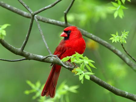 Red Wild Bird