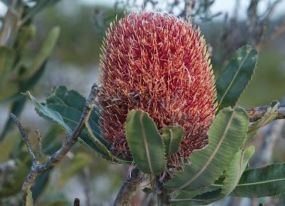 Firewood Banksia (Banksia menziesii)