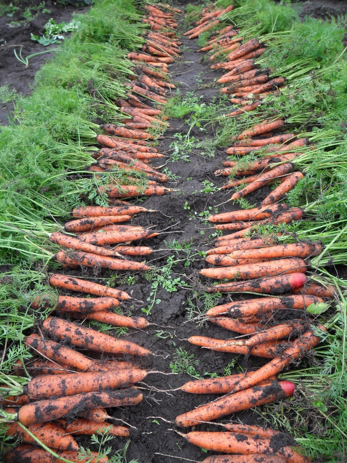 Морковь: выращивание, посадка и уход. Сорта моркови 74