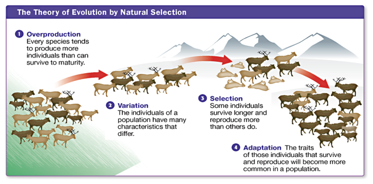 Steps Of Darwin S Theory Of Natural Selection